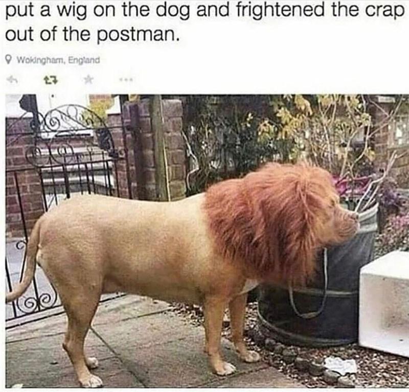 dog-put-wig-on-dog-and-frightened-crap-out-postman-o-wokingham-england.jpg